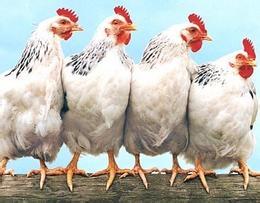 金沙种鸡、肉鸡专用强化型维生素预混料